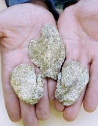 岡山市南区の彦崎貝塚で見つかった「トウカイハマギギ」の頭の骨=共同