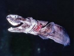 ラブカは「生きている化石」とも呼ばれる=東海大学海洋科学博物館提供