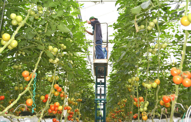 カゴメは「高リコピントマト」など生鮮トマトの生産量を増やす  (福島県いわき市の自社農園「いわき小名浜菜園」)