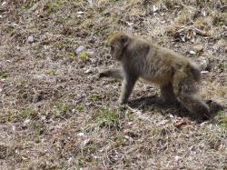 長野県で見かけた野生ニホンザル。早春に若草の芽を食べている