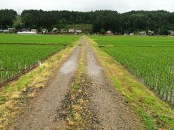 左側の小千谷市は魚沼ブランドで、右側の長岡市は新潟一般のコシヒカリを作付けする(中央の道が市の境界)