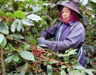 コーヒーの実を摘み取るアカ族のミー・ミュンさん(昨年12月、タイ・パヒ村)