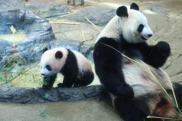 「シャンシャンに会いたい」 上野動物園で一般公開(写真特集)