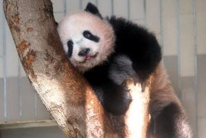 ジャイアントパンダのシャンシャン(18日、東京都台東区の上野動物園)