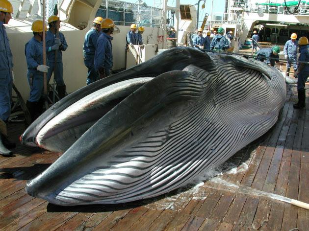 【海洋資源】IWC脱退、政府が決定 商業捕鯨の再開に道【クジラ】