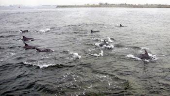 大阪湾で目撃されたイルカの群れ(31日、大阪海上保安監部提供)=共同